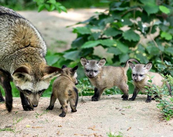 В зоопарке Крефельда родились детеныши большеухой лисицы - ZooPicture.ru