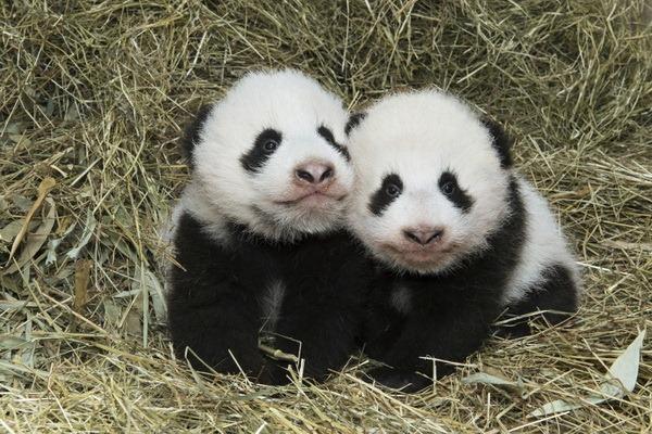 Детенышам большой панды из зоопарка Вены дали имена - ZooPicture.ru