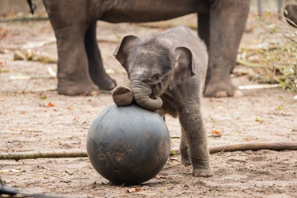 Зоопарк Амстердама представил нового азиатского слоненка - ZooPicture.ru