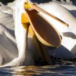 Пеликан Profile Picture