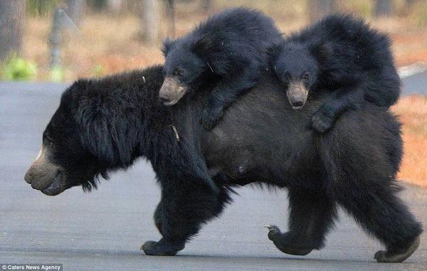 Медвежата прокатились на спине матери - ZooPicture.ru