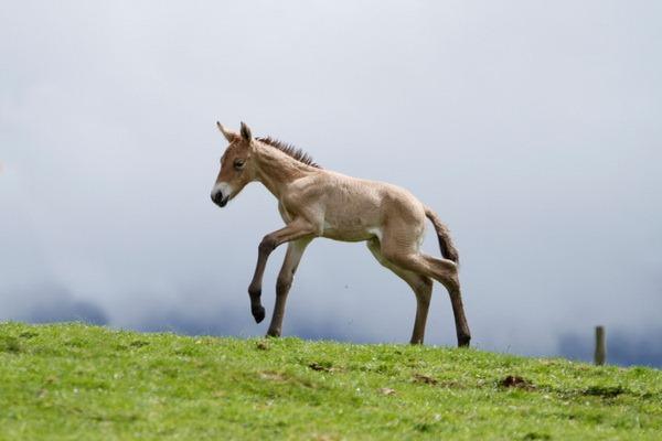Хайленд Парк представил жеребенка лошади Пржевальского - ZooPicture.ru