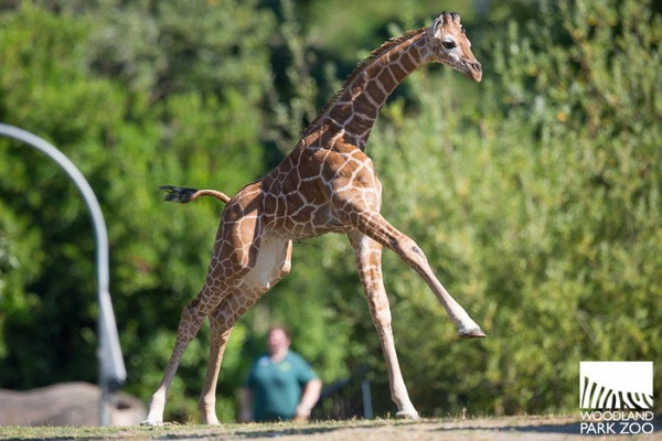 В Woodland Park Zoo подрастает детеныш жирафа - ZooPicture.ru