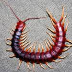 scolopendra Profile Picture
