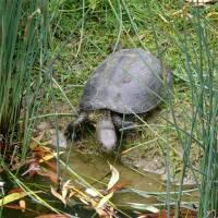 Болотная черепаха, описание, образ жизни, Красная книга фото