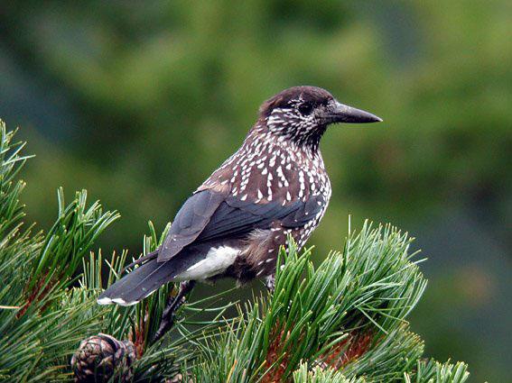 Кедровка. Птица кедровка фото описание