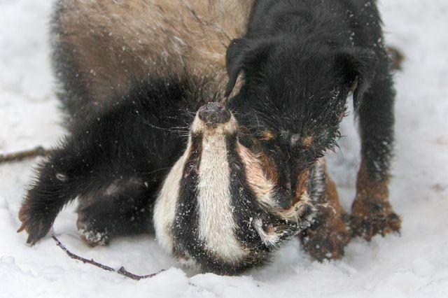 Слышны отчаянные крики енота... | Центр защиты прав животных «ВИТА»