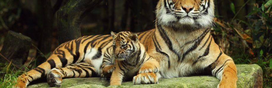 Амурский тигр Cover Image