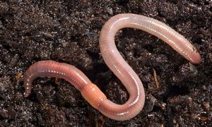 Земляные черви. Земляные черви фото