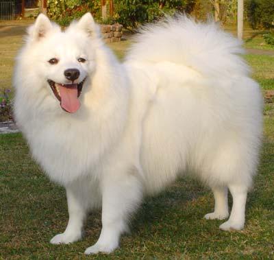 Японский шпиц. Собака породы Японский шпиц уход,фото,описание