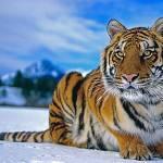 Амурский тигр Profile Picture