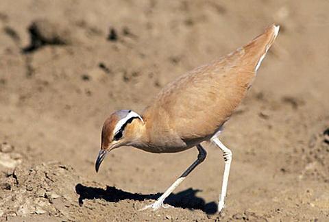 Бегунок птица