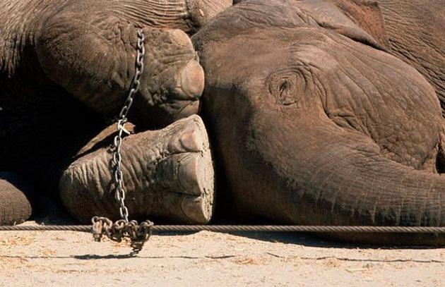 Emergenza freddo - Allarme Lav animali circo: elefanti, leoni, rinoceronti, zebre e giraffe - Focus.it