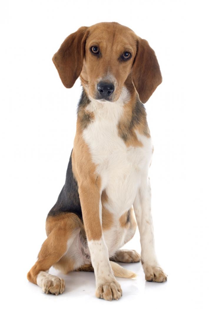 Beagle-Harrier : caractère, éducation, santé, entretien