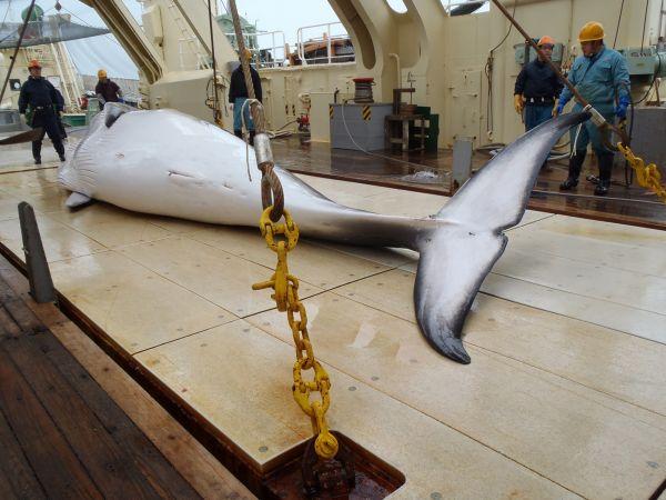 Des baleiniers japonais en route vers l'Antarctique | Le Devoir