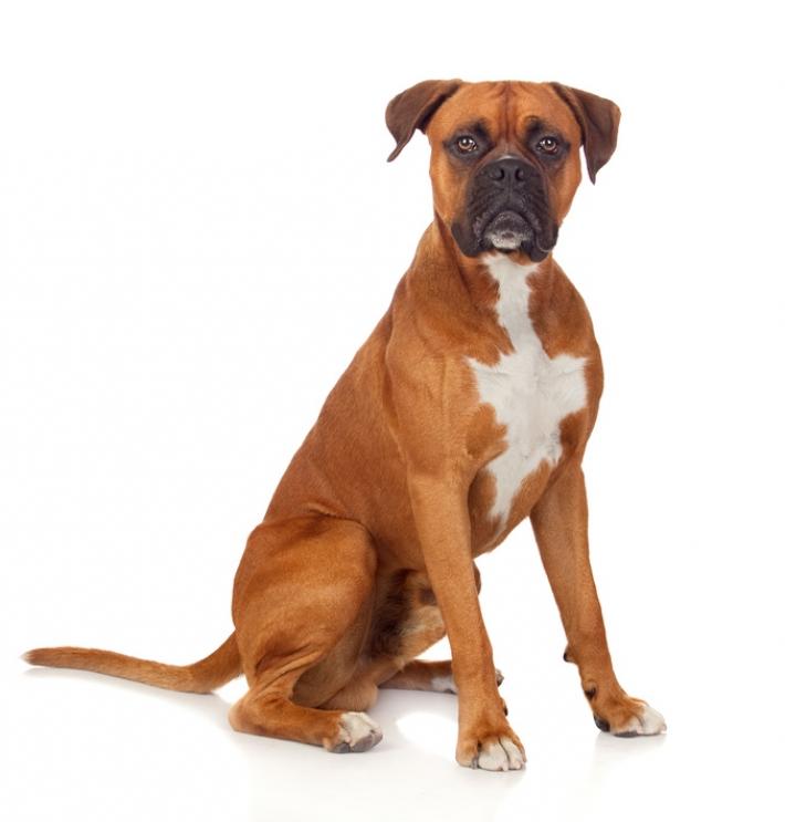 Boxer : caractère, éducation, santé, entretien