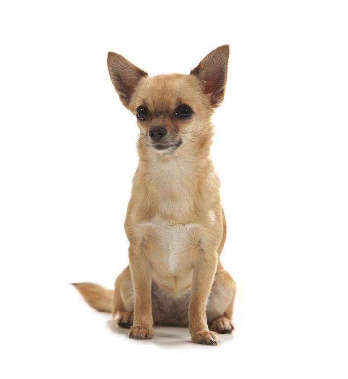 Chihuahua : caractère, éducation, santé, entretien
