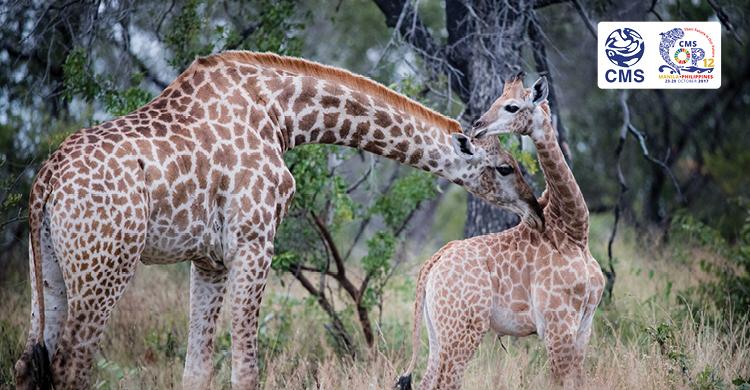 Per le giraffe in arrivo le prime misure di protezione internazionali - Greenreport: economia ecologica e sviluppo sostenibile