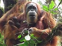 La grande scimmia più rara del mondo - National Geographic