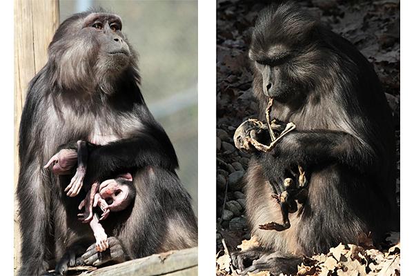Accudisce il corpo mummificato del suo piccolo per 25 giorni e poi lo mangia - National Geographic