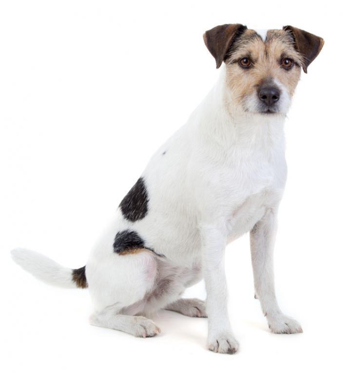 Parson Russell Terrier : caractère, éducation, santé, entretien