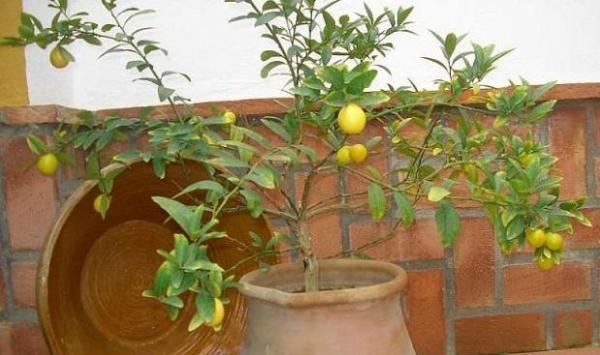 Cultivar un limonero enano - EcologíaVerde