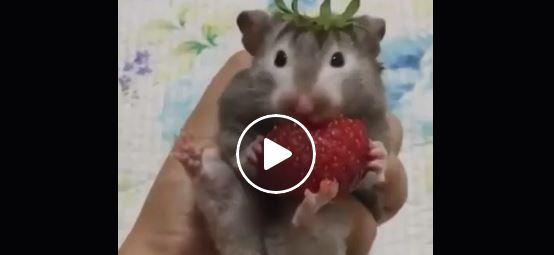 Hamster isst Erdbeere | EIN HERZ FÜR TIERE Magazin