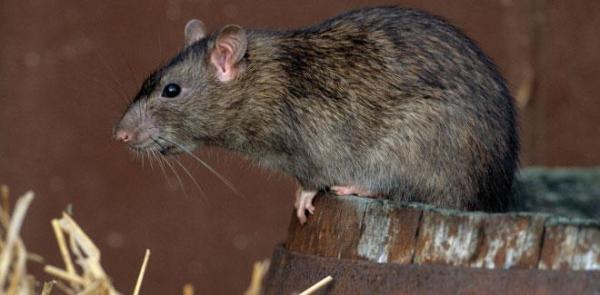 Una rata por cada seis habitantes (la plaga es el ser humano)