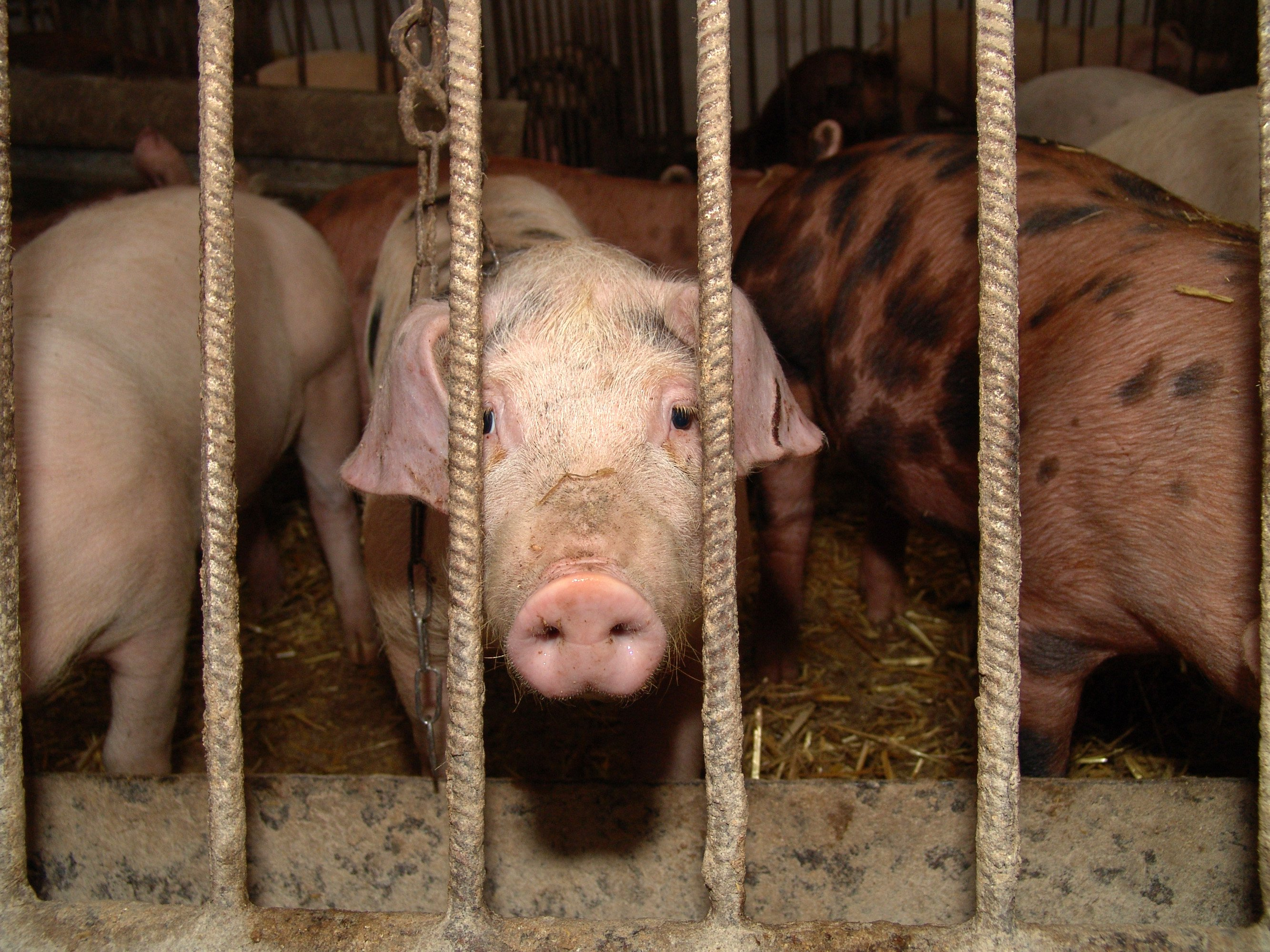 18 imágenes que te impedirán comer perros calientes otra vez | Blog | PETA Latino