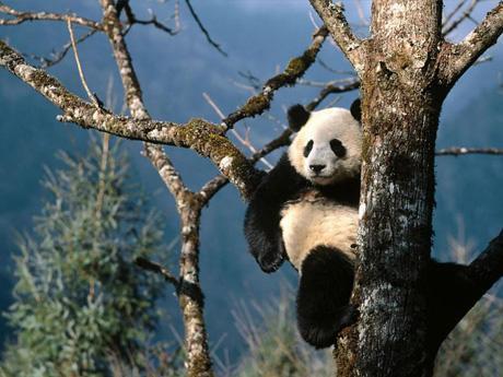 El oso panda se extingue - EcologíaVerde