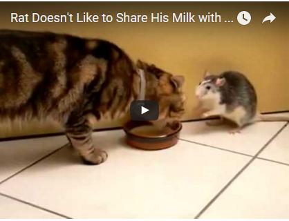 Diese Ratte weiß genau was sie will! Und die Katze hat kaum eine Chance sich zu wehren | EIN HERZ FÜR TIERE Magazin