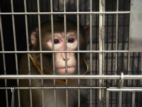 Monos quemados, drogados y desangrados hasta la muerte en el Centro de Primates de Oregón | Blog | PETA Latino