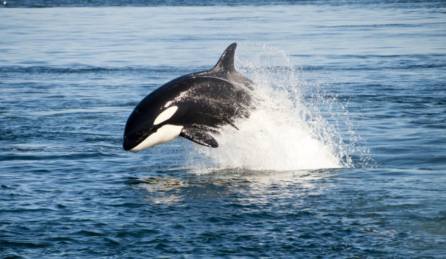 The Dolphins Stick Up for Orcas | Blog | PETA Latino