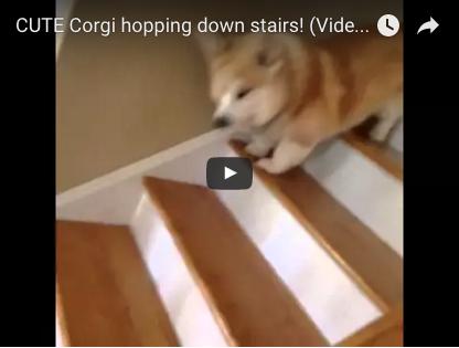 Dieser Corgi hat eine ganz spezielle Technik des Treppensteigens, die jeden zum Lachen bringt | EIN HERZ FÜR TIERE Magazin