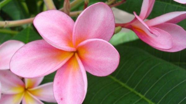 Cuidados de la planta plumeria - EcologíaVerde