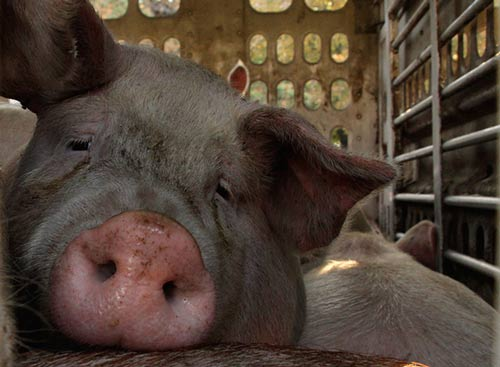 10 Things You Won't Believe People Would Do for Bacon | Blog | PETA Latino