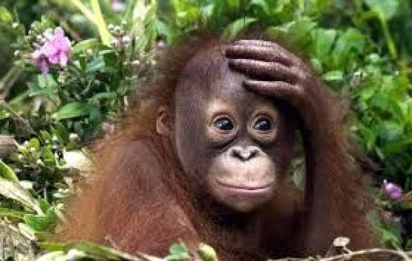 Индонезия: орангутанг бросается на бульдозер, который разрушает его лес